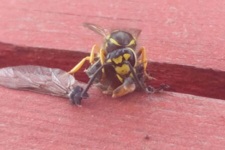 a Wasp eating gadfly. Wasp predatory insect