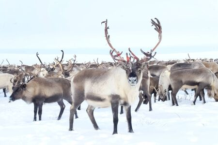 Reindeer in the sima tundra in the snow.