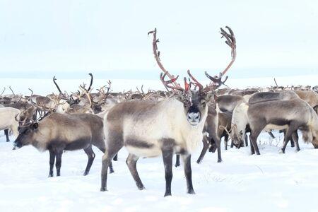 Rentiere in der Sima Tundra im Schnee.