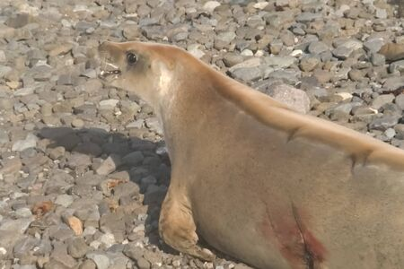 Wounded seal. Seals on the coast of Antarctica. Seals on the coast of Antarctica. Stock fotó