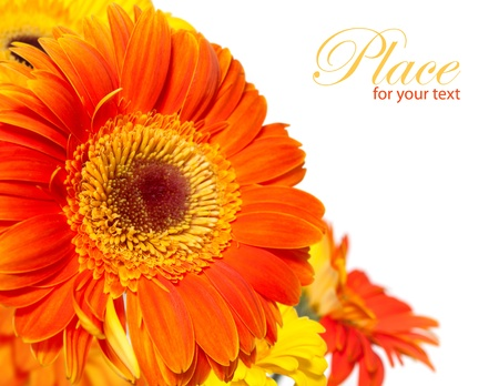 Orange gerber daisy on white background with place for text