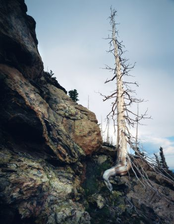 Towering windswept barren pines at high altitude in Colorado.