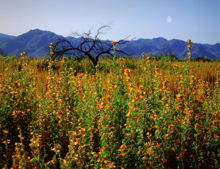 Arizona Springtime. Desert Flowers with Moon and Mountains.