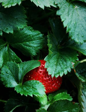 Ripe Red Strawberry Patch Garden in Spring or Summer. Macro details
