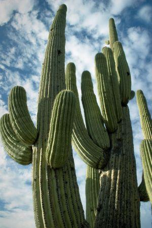Nice saguaro detail in Saguaro National Park, Arizona. Sauaro detail against interesting sky.