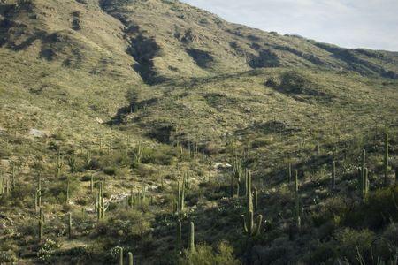 Nice spring desert nature scene in Saguaro National Park, Arizona Sauaros, Ocatilla, Prickly Pear and Palo Verde Trees. Zdjęcie Seryjne