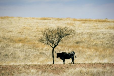 Cattle Grazing on Ranch Spring Grass. Single Longhorn standing under barren solitary shade tree