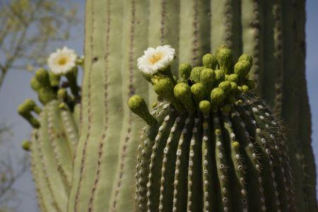 Blooming Saguaro Detail, Arizona Desert