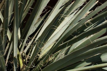 Yucca Cactus in Desert. Nice detail of leaves. Zdjęcie Seryjne