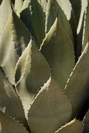 Agave Cactus in Desert. Nice detail of leaves.