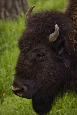 Buffalo Grazing on Ranch Spring Grass with Calf. Themes: cattle, prairie, nature, reproduction, spring, Native American, extinction, endangered