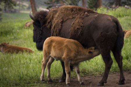 native american baby: Buffalo Grazing on Ranch Spring Grass with Calf. Themes: cattle, prairie, nature, reproduction, spring, Native American, extinction, endangered