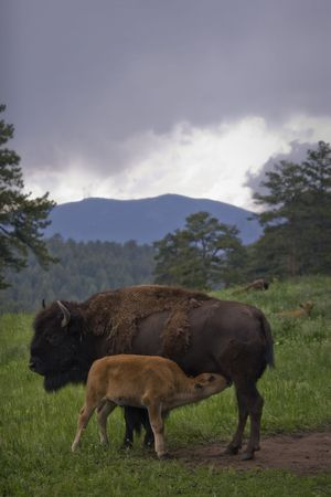 Buffalo Grazing on Ranch Spring Grass with Calf. Themes: cattle, prairie, nature, reproduction, spring, Native American, extinction, endangered,