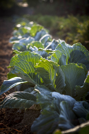 Cabbage Growing In Field, Croatia, Slavonia, Europe LANG_EVOIMAGES