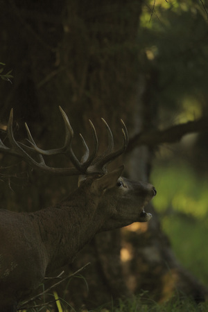 rutting: Roaring Stag