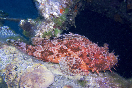 scorpionfish: Red scorpionfish, Adriatic Sea, Croatia, Europe