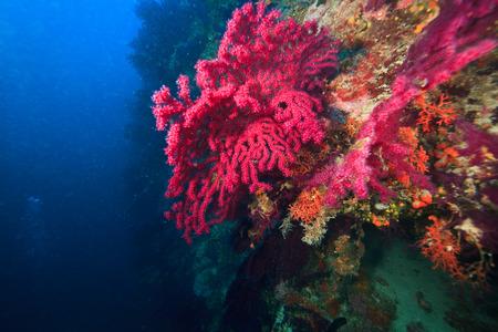 gorgonian sea fan: Red gorgonian sea fan, Adriatic Sea, Croatia, Europe