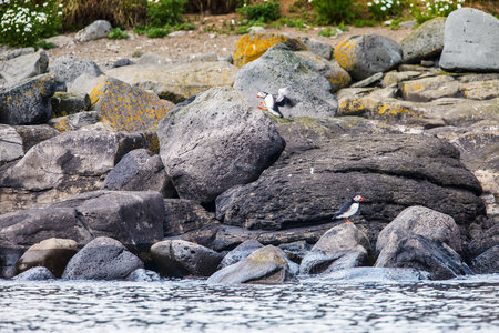 puffins: Puffins on the waterfront, Iceland