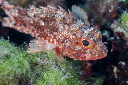 scorpionfish: Red scorpionfish, close-up, Adriatic Sea