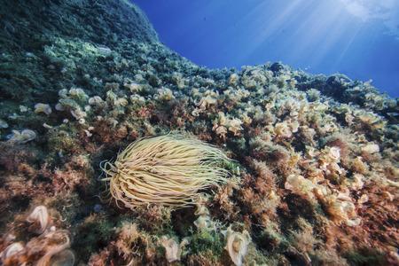 Close-up of Anemonia Sulcata