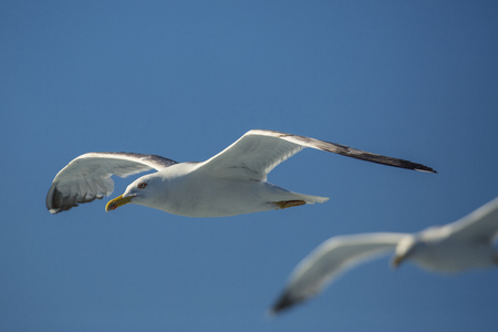 Two seagulls flying against blue sky