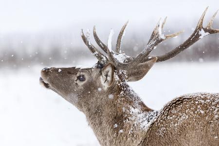 Portrait of red deer stag LANG_EVOIMAGES