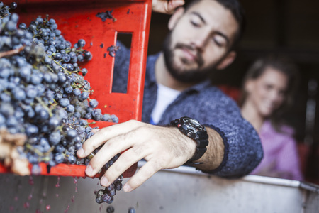 Man unloading grapes into container in vineyard
