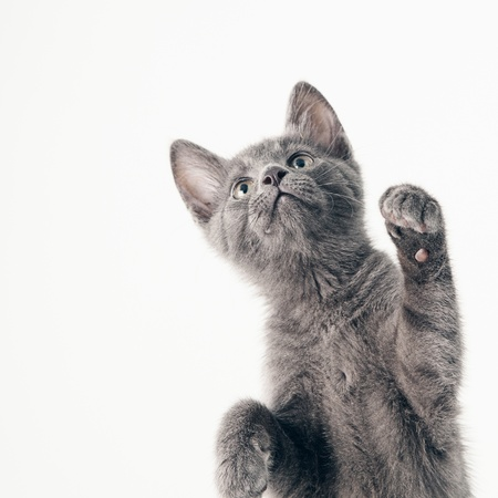 russian blue: Playful Russian Blue kitten isolated on white.