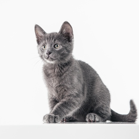 pet photography: Cute Russian Blue kitten isolated on white. Stock Photo
