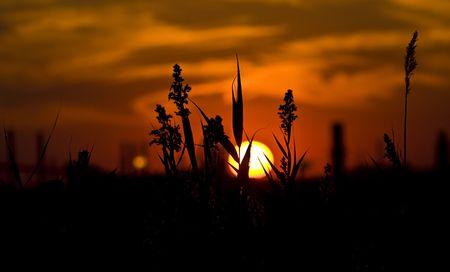 Tall Grass at Sunset Stock Photo - 6789884