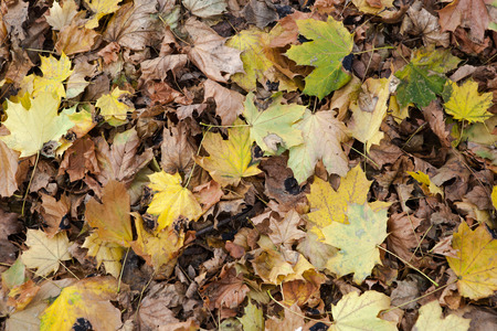 seaonal: A seaonal winter  array of fallen maple leaves Stock Photo