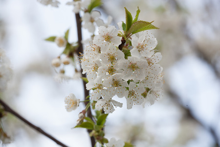 rosales: Spring Flora - Black Cherry Blossoms in Daylight