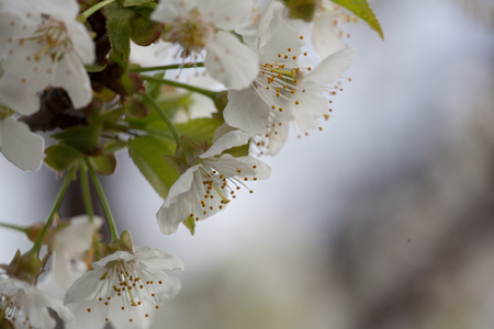 flora: Spring Flora - Black Cherry Blossoms in Daylight