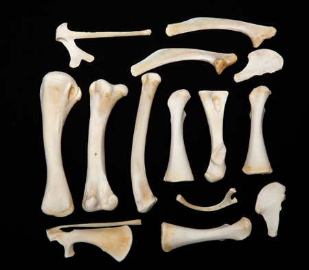 Dessicated Animal Bones from a chicken on a dark background.