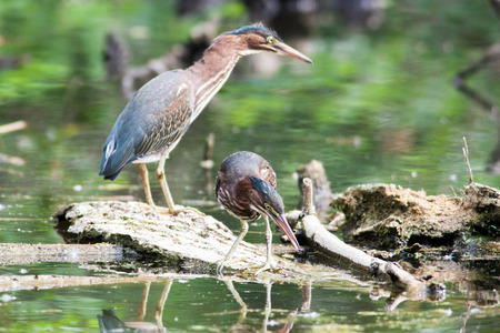 striated: Green Herons perched on a log in a local pond