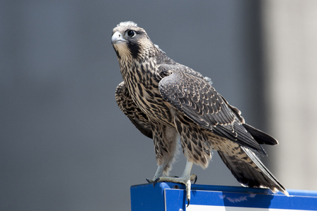 windsor: June 2017 Windsor, ON Canada - Juvenile Peregrine Falcon