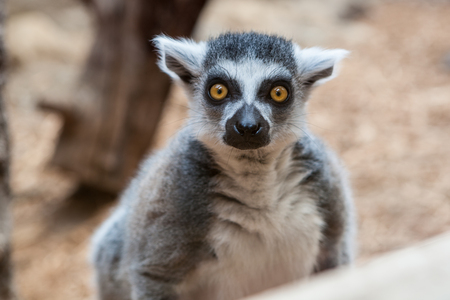 Closeup of a ring tailed captive lemur in a family zoo