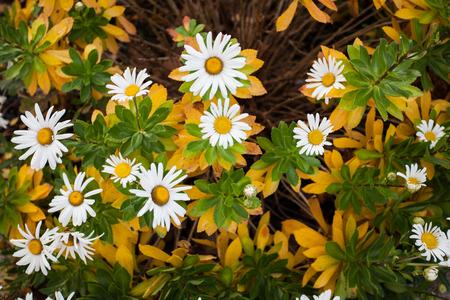 Natural Floral Arrangement, White and Yellow Garden Shasta Daisies