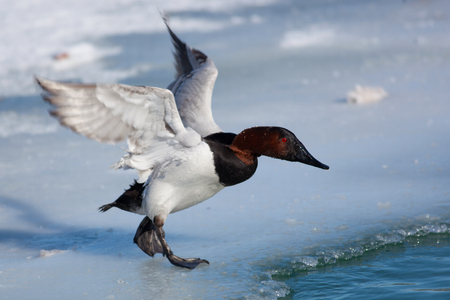 Birds Shorebirds Winter Canvasback Duck Wings Open