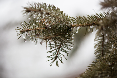 Melting Snow Drips on a Branch in Winter Season Stock Photo