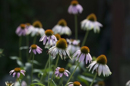 Seasons Flora Mid Summer Season Purple Coneflower