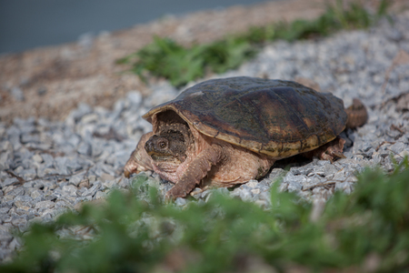 Nature Reptiles Shelled Wildlife Snapping Turtle Still Rocky Pebbles Stock Photo