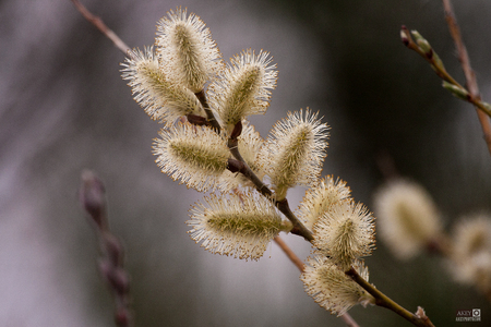 Close-up of Early Spring Flowers Flora Afternoon Pussy Willow Branches with a bokeh background