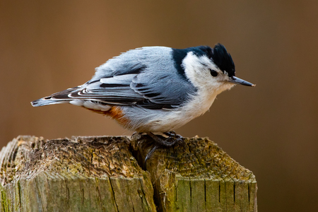 Fauna Feathered Birds Small White Breasted Nuthatch Closeup Stock Photo