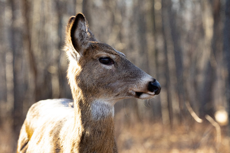 Mammals Female White Tailed Deer Forest Animals Stock Photo