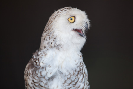 Fauna Winged Feathered Bird Snowy Owl Captive Closeup