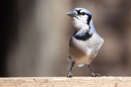 Nature Wildlife Passerine Birds House Blue Jay Eye Catch Light