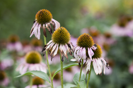 Solitary Purple Coneflower isolated on a green out of focus background