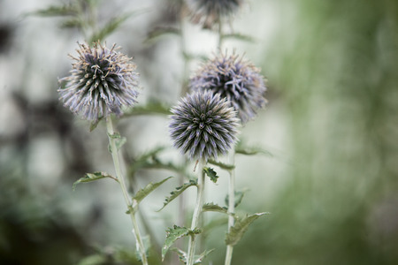 Flora Flowers Backyard Globe Thistle Balls Round Seed Head forest background Stock Photo