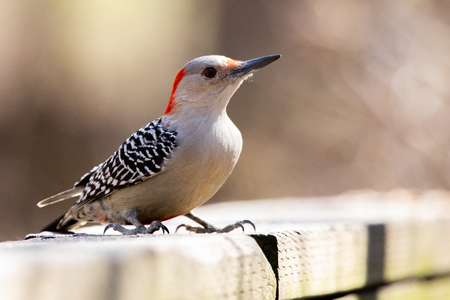 Red Bellied Woodpecker standing on a porch railing collecting seeds to eat.